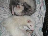 Ferret - Gemma & Tess - Small - Adult - Female - Small