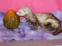 Ferret - Ginger - Small - Young - Female - Small &