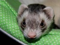 Ferret - Jerry - Medium - Adult - Male - Small & Furry