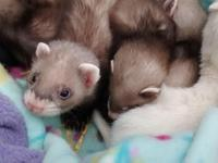 Ferrets for sale. Three males and four females