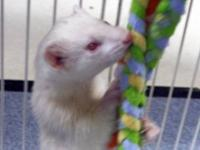 Ferret - Kratos - Small - Young - Male - Small & Furry