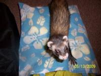 Ferret - Lulu - Medium - Young - Female - Small &