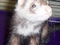 Ferret - Luna - Small - Young - Female - Small & Furry