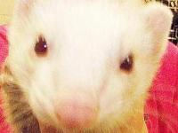 Ferret - Maddy - Medium - Adult - Male - Small & Furry