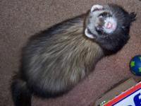 Ferret - Mia - Medium - Young - Female - Small & Furry