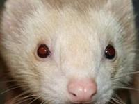 Ferret - Monster - Medium - Adult - Male - Small &