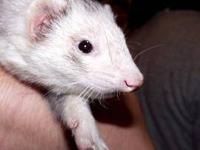 Ferret - Nala - Small - Adult - Female - Small & Furry