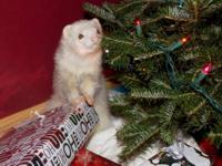 Ferret - Niko - Medium - Young - Male - Small & Furry