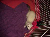Ferret - Oliver - Large - Adult - Male - Small & Furry