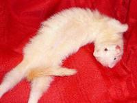 Ferret - Phil - Medium - Adult - Male - Small & Furry