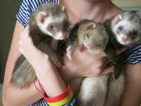 Ferret - Sage - Small - Adult - Female - Small & Furry
