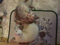 Ferret - Scooter And Georgio - Small - Adult - Male