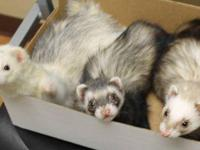 Ferret - Scratch, Ares, Hershey - Small - Young - Male