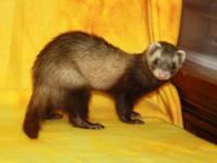 Ferret - Selena - Small - Young - Female - Small &