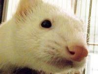 Ferret - Sharky - Small - Adult - Female - Small &