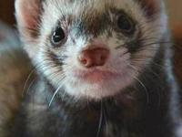 Ferret - Snip - Small - Adult - Male - Small & Furry