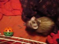 Ferret - Sparkles - Small - Baby - Female - Small &