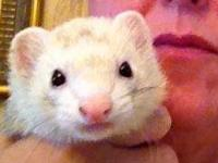 Ferret - Sweet Pea - Small - Senior - Female - Small &
