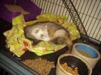 Ferret - Tinker - Large - Baby - Male - Small & Furry