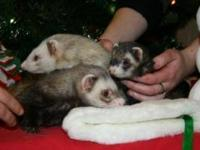 Ferret - Trio Of Ferrets, Murf,surf,turf - Large -