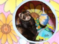 Ferret - Willard And Walker - Small - Adult - Male