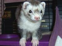 Ferret - Axel - Small - Adult - Male - Small & Furry
