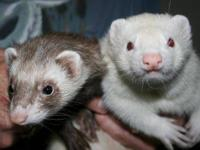 Ferret - Fred And Stewart - Small - Young - Male -