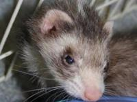 Ferret - Ivy - Small - Adult - Female - Small & Furry