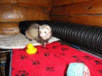 Ferret - Kit - Small - Adult - Male - Small & Furry