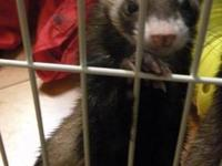 Ferret - Mogwai - Small - Adult - Male - Small & Furry