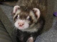 Ferret - Moose - Small - Young - Female - Small &