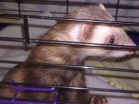 Ferret - Panda - Small - Young - Female - Small &