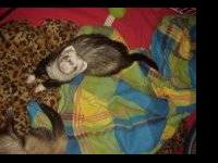 Ferret - Smokey & Sammy - Large - Young - Male - Small
