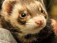 Ferret - Sweet And Friendly - Small - Young - Female