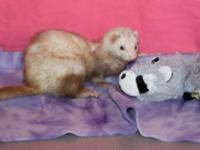 Ferret - Violet - Small - Young - Female - Small &