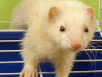 Ferret - Whitie-adopted - Small - Young - Female -