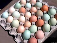 I have fresh fertilized chicken eggs of various colors