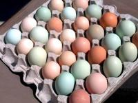 I have fresh fertile chicken eggs of various colors