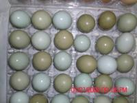 I raise brown egg layers and Tinted Blue egg laying