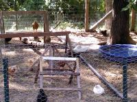 We have several breeds of bantam hens that all run