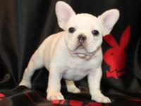 FHGJHHHCC French Bulldog puppies for Sale .... male and