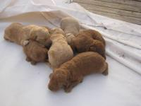 I HAVE A LITTER OF F1B LABRADOODLES DAM HUNTS AND SIRE