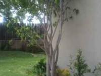 Two lovely Benjamina Ficus trees, both over 7' high.