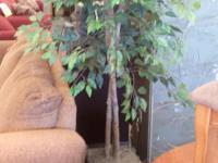 6 foot tall Ficus Trees for Sale. Previous rented out