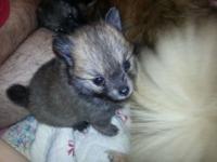 . Pomeranian new puppies 6 weeks old. Has papers. Quite