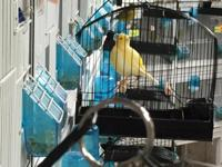 Breeder and exhibitor of show quality Fife Canaries. -