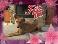 Meet SWEET Fifi, 1 yr old, 30 lb Saluki mix. What a