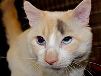 Figarova's story Figarova is a flame point Siamese mix