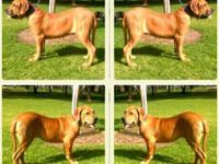 One fila brasileiro female six month old puppy for