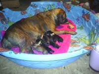 Fila Brasileiro puppies born July 15, 2012. 2 black